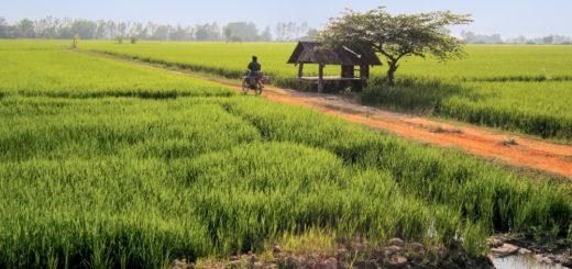 Unsere Radtour führt uns an Reisfeldern vorbei auf dem Weg von Chiang Mai nach Lampang - Raphaela Fritsch