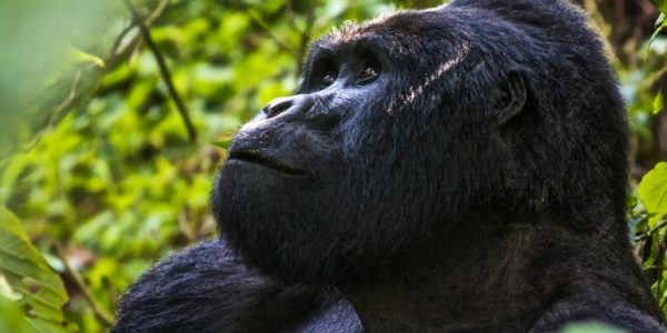 18-to-Thirtysomethings-Uganda-Gorillas-Overland