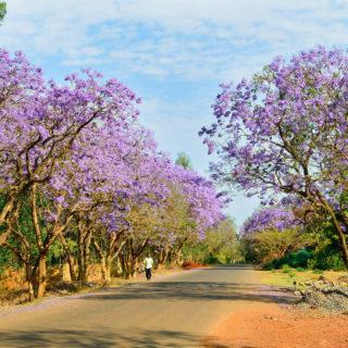 Jacaranda-Allee in Bahir Dar - Nicole Kuhn