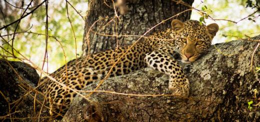 Leopard - Paul Sutton