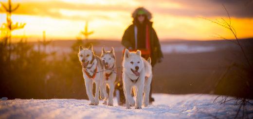 Huskytour in Schwedisch Lappland - Granö Beckasin