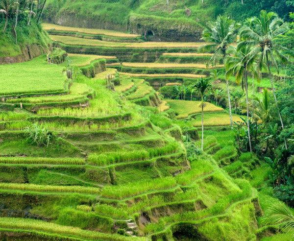 Reisterrassen in der Umgebung von Ubud