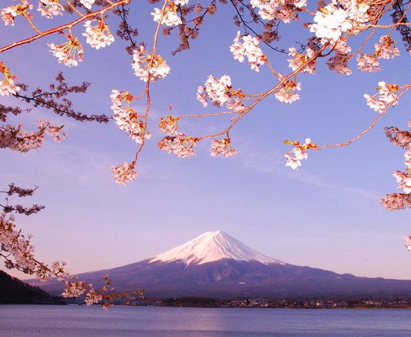Japanische Kirschblüte vor dem Berg Fuji
