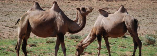 MN-Jeep-Pferd-Kamel-Mongolei-erleben-7