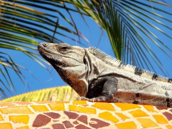 Leguan beim Sonnen in Yucatan