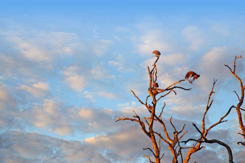 Vögel auf einem Baum, South Luangwa-Nationalpark
