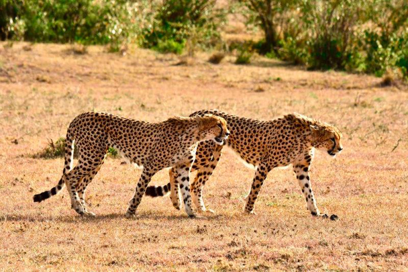 Geparden in der Masai Mara - Robert Wälter