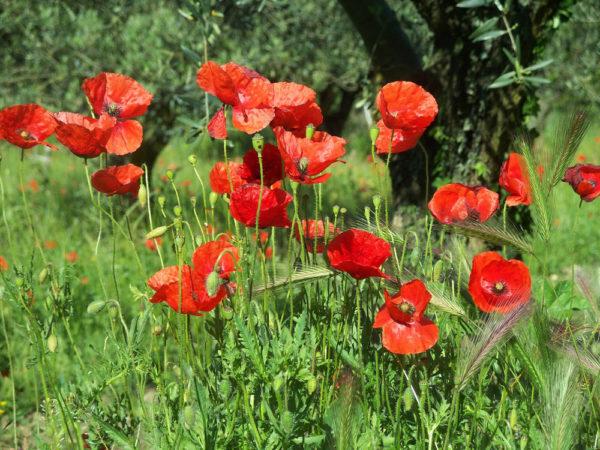 Mohnblumen in der Provence - Cornelia Kolbe