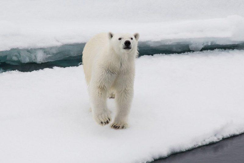 Neugieriger Eisbär