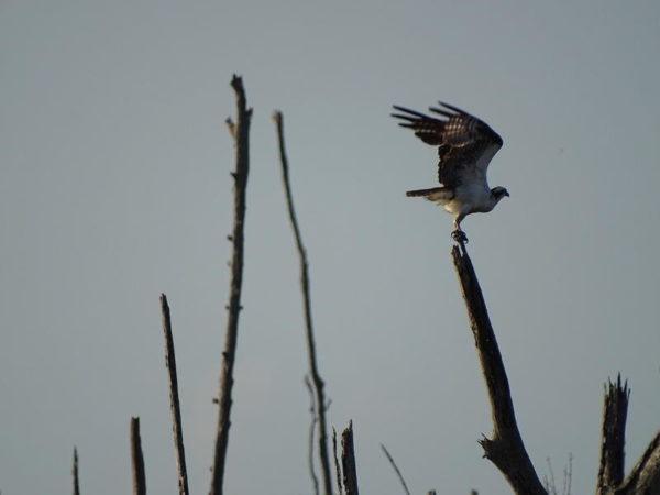 Der Fischadler ist eine von 166 Vogelarten in Suriname. Rundreise Suriname 2019| Erlebnisrundreisen.de
