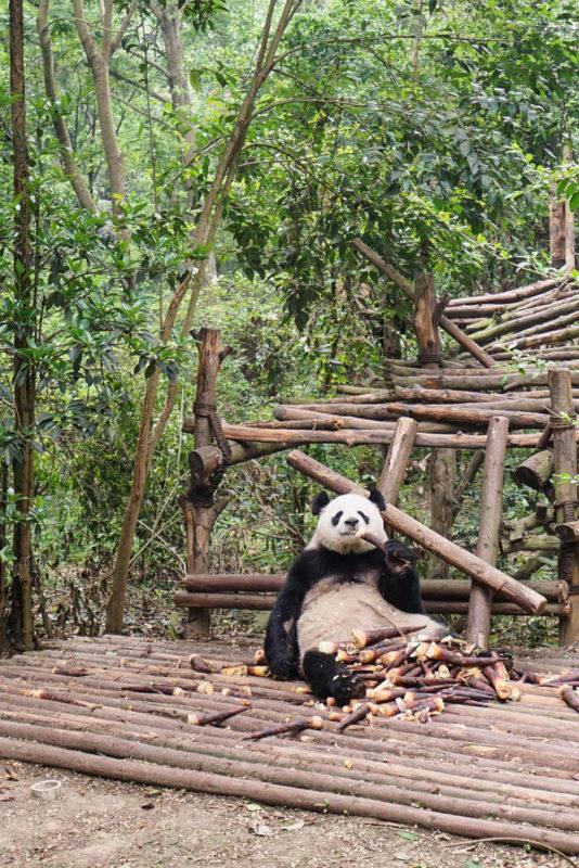 Pandabär in der Aufzucht-Station - Xiaoli Wang