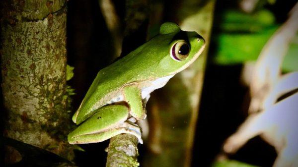 Grüner Frosch Boophis albilabris