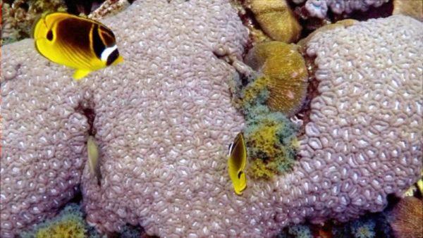 Unterwasserwelt_Mondsichel-Falterfisch (Chaetodon Lunula).jpg
