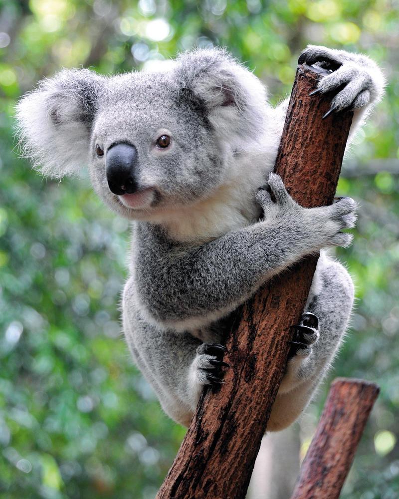 Koala - Archiv