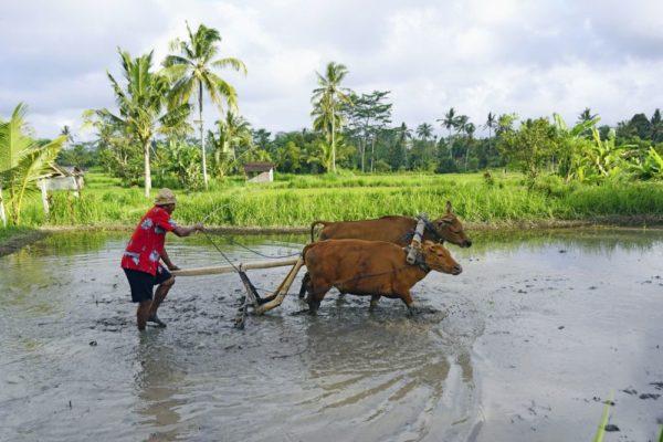 Feldarbeit auf Bali