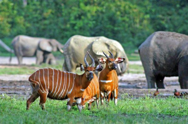 Bongo-Antilopen und Waldelefanten