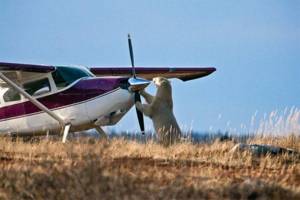 Eisbär untersucht Motorflugzeug, Nanuk Polar Bear Lodge