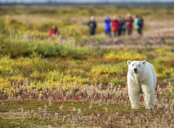 Eisbär wird auf einer Fußpirsch beobachtet, Nanuk Polar Bear Lodge