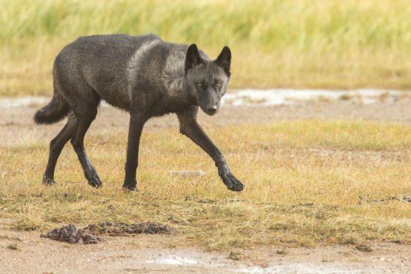 Wolf nahe der Nanuk Polar Bear Lodge