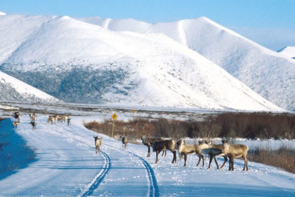 Caribou on the Dempster Highway in the Yukon, Canada.
