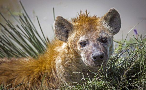Hyänen leben in perfekt organisierten Gemeinschaften in der Masai Mara