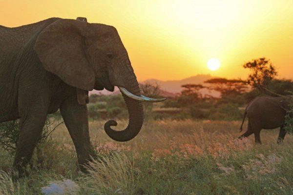 Elefanten im Abendlicht im Samburu Reservat