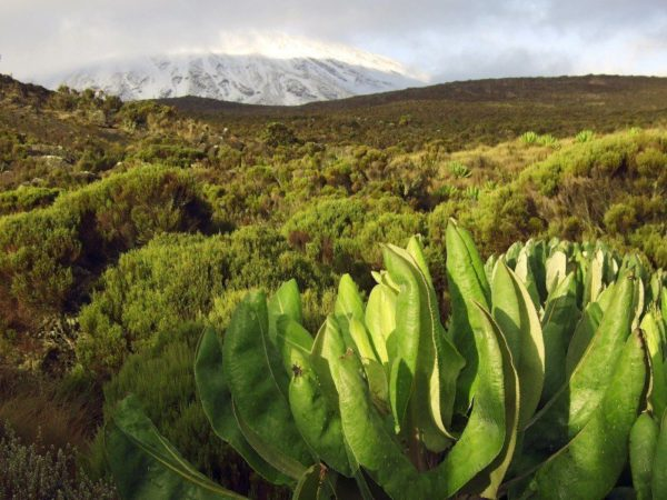 Grüne Heidelandschaft am Kilimanjaro
