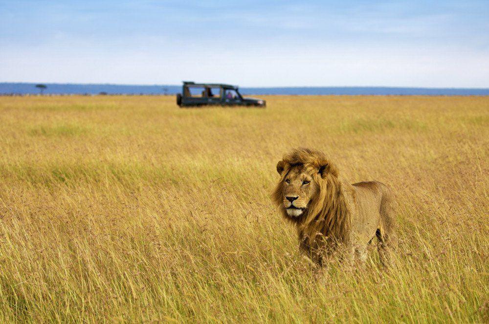 Löwe in der Savanne Reise Löwe in der Savanne 2020