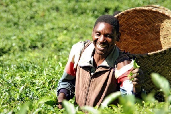 Teepflücker in den Plantagen