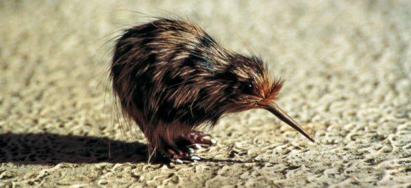 Ein Kiwi-Vogel
