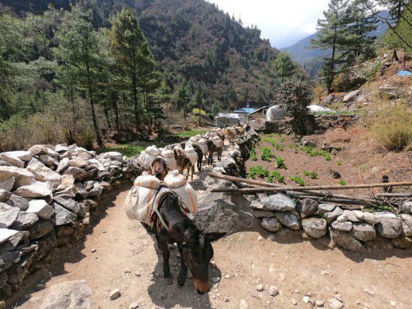 Packtier-Karawane beim Abstieg nach Lukla