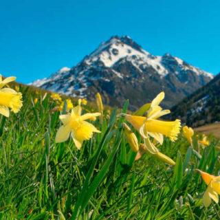 Narzissen im Vall d'Incles - Andorra Turisme