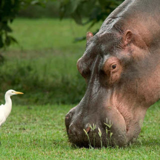 Hippo und Kuhreier - Malawi Travel Marketing
