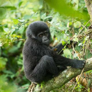 Gorilla Baby - Juan Dobler
