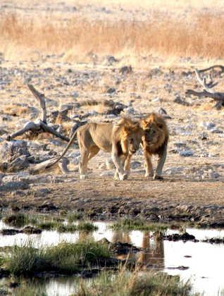 Löwen im Etosha Nationalpark - Friedrich Schweikert
