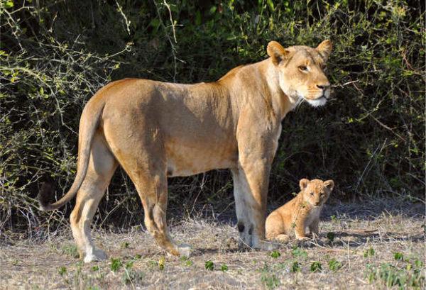 Löwin mit Nachwuchs - Tanja Herrmann