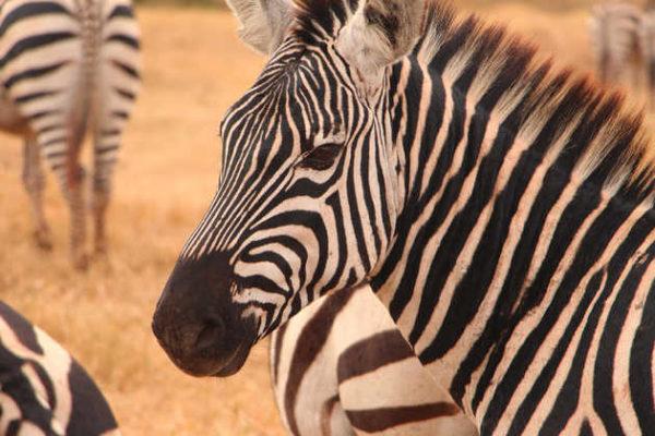 Zebraherde im Ngorongoro-Krater - Alina Kirsten