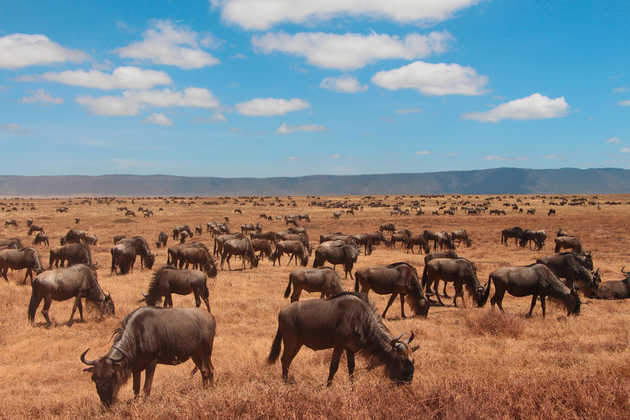 Gnuherde im Ngorongoro-Krater - Alina Kirsten