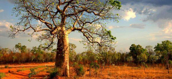 Westaustralischer Baobab