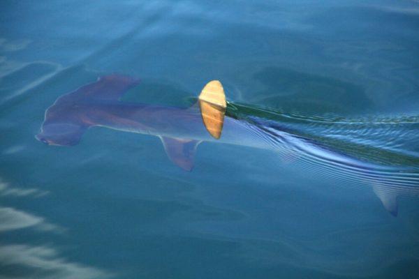 Zutraulicher Hammerhai im Meer