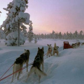 Mit den Huskys durch Lappland - Dolde