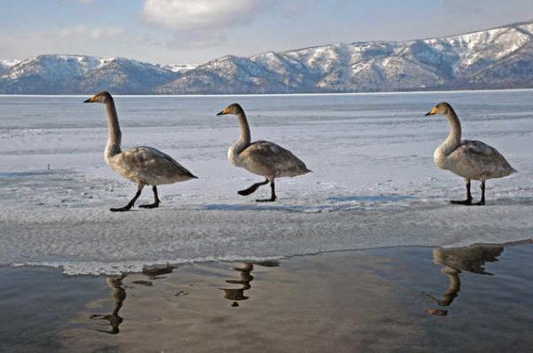 Singschwäne auf Hokkaido - Hartmut Pohling - © Hartmut Pohling