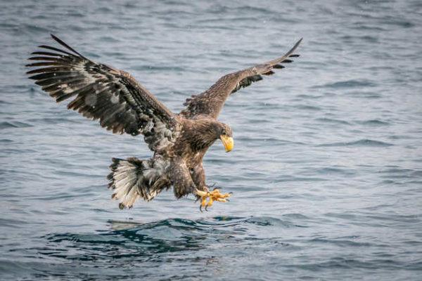 Riesenseeadler am Ochotskischen Meer - Susanne Bartelt