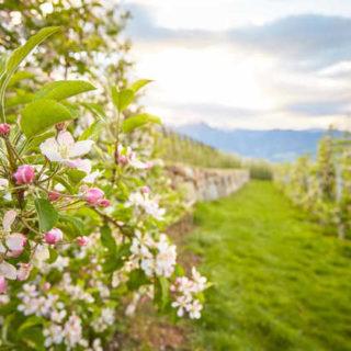Apfelblüte in Südtirol - IDM Südtirol / Stefan Schütz
