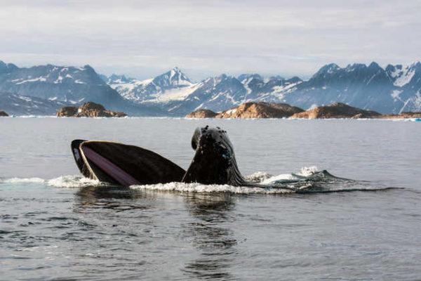 Wal vor der Küste Ostgrönlands - Sabine Bork
