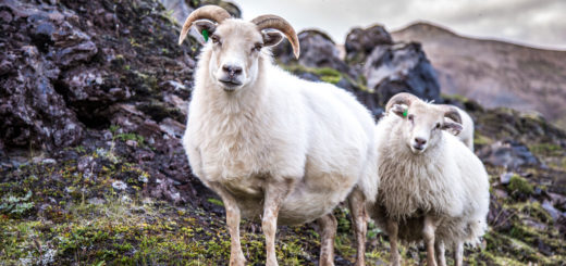 Festival der Schafe - Naturwunder