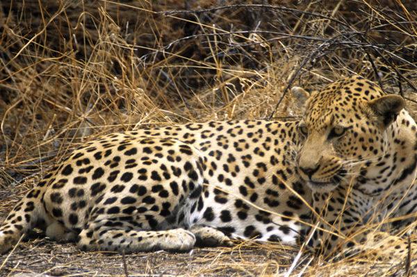 Leopard, Steppe, Ruhe Großkatze