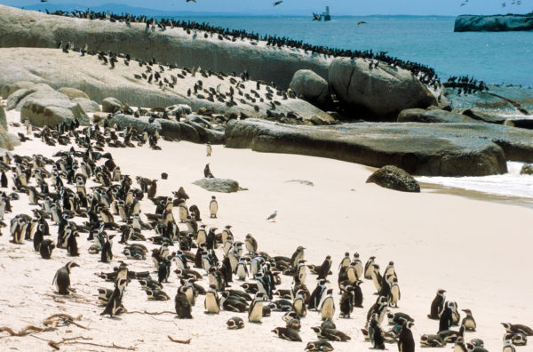 Pinguinkolonie, Strand, Felsen,