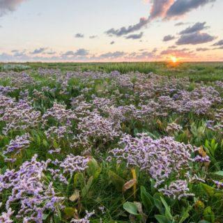 Strandflieder in voller Blüte auf der Hamburger Hallig Reise Strandflieder in voller Blüte auf der Hamburger Hallig 2020/2021
