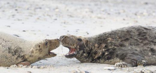 Im Zwiegespräch zwischen Mama-Robbe und Robbenbaby Reise Im Zwiegespräch zwischen Mama-Robbe und Robbenbaby 2020/2021
